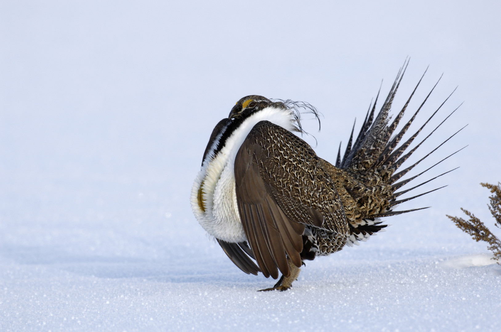 Sage Grouse Interior Department Western Habitats Zinke BLM